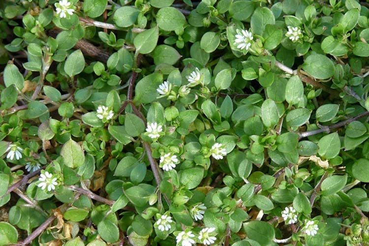 Common Chickweed - weed