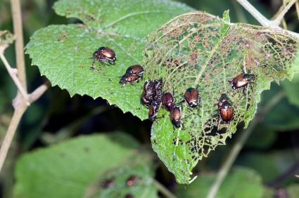 Japanese Beetle - Insect Control