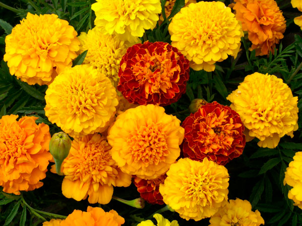 Marigold - Seasonal Color