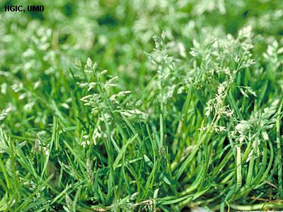 annual_bluegrass - weeds