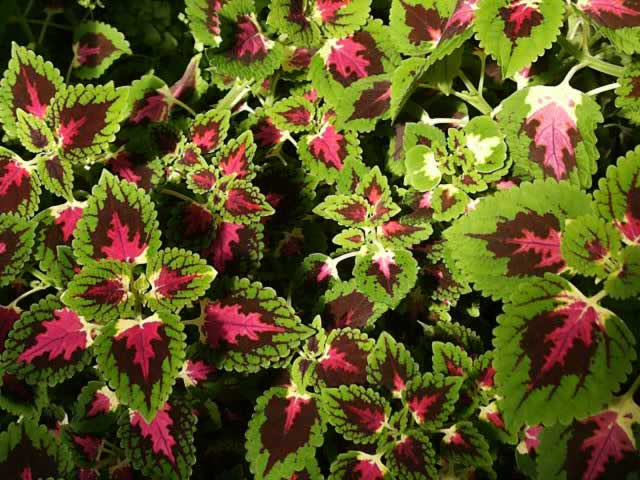 Coleus - Seasonal Color