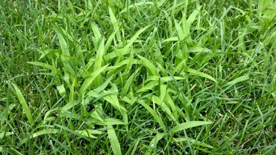 crabgrass - weeds