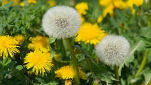 dandelion - weeds