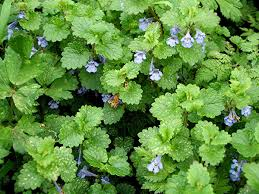 ground ivy - weeds