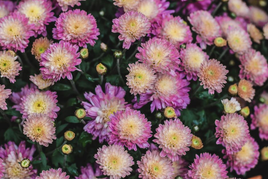 Mums - Seasonal Color