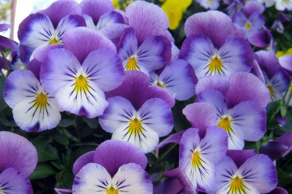 Pansies - Seasonal Color