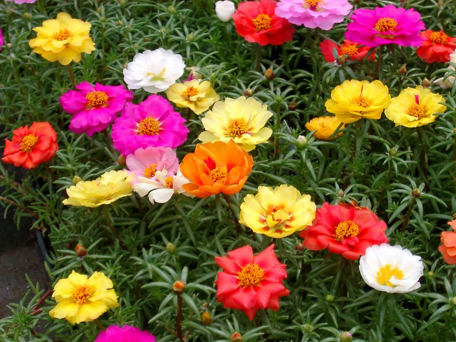 Portulaca - Seasonal Color