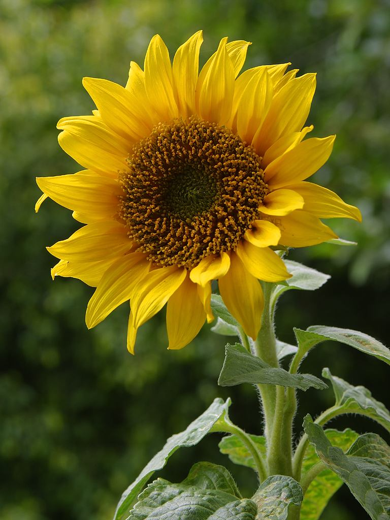 Sunflower - Seasonal Color