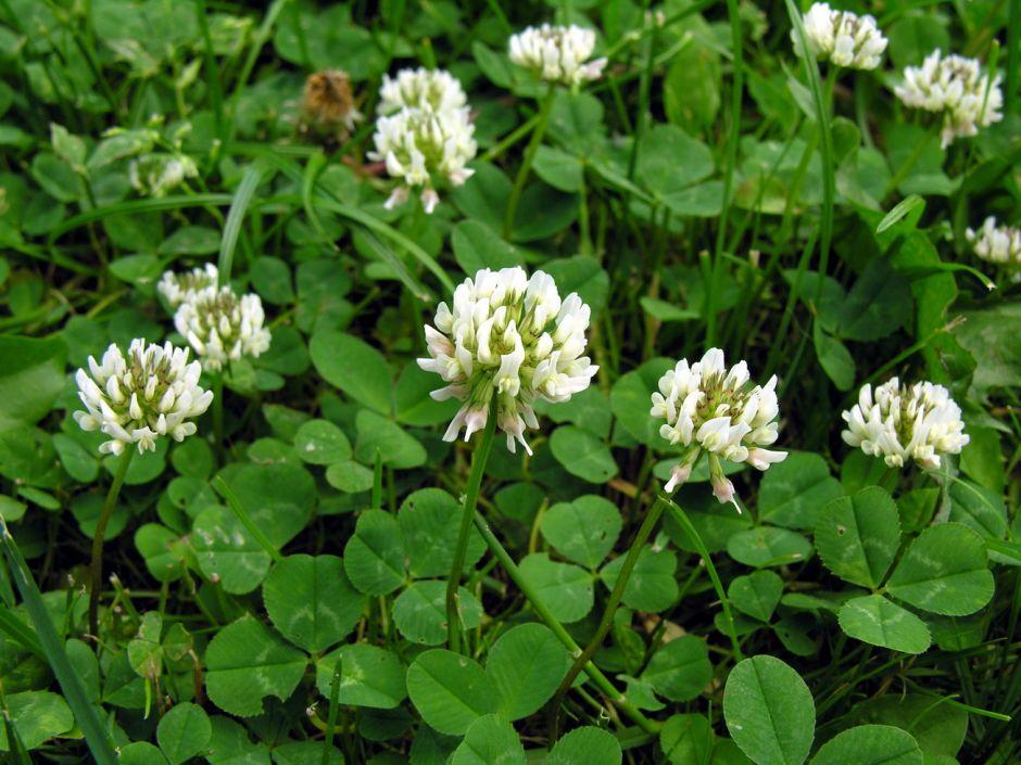 white clover - weeds