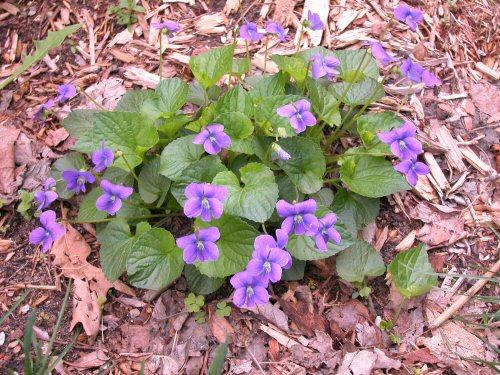 wild violets - weeds